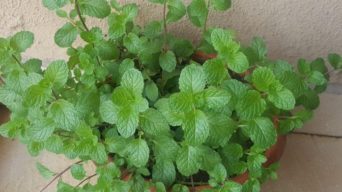 Growing mint in pots