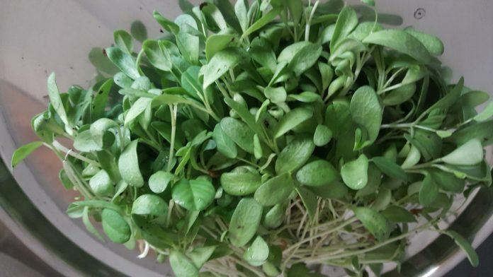 growing fenugreek in pots