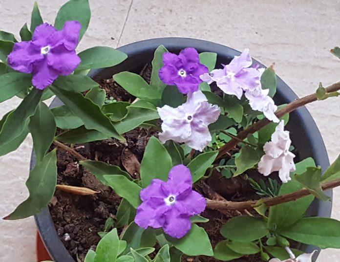 Brunfelsia plant
