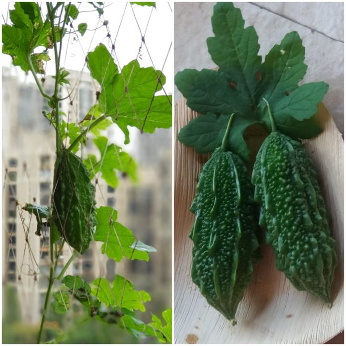 growing karela