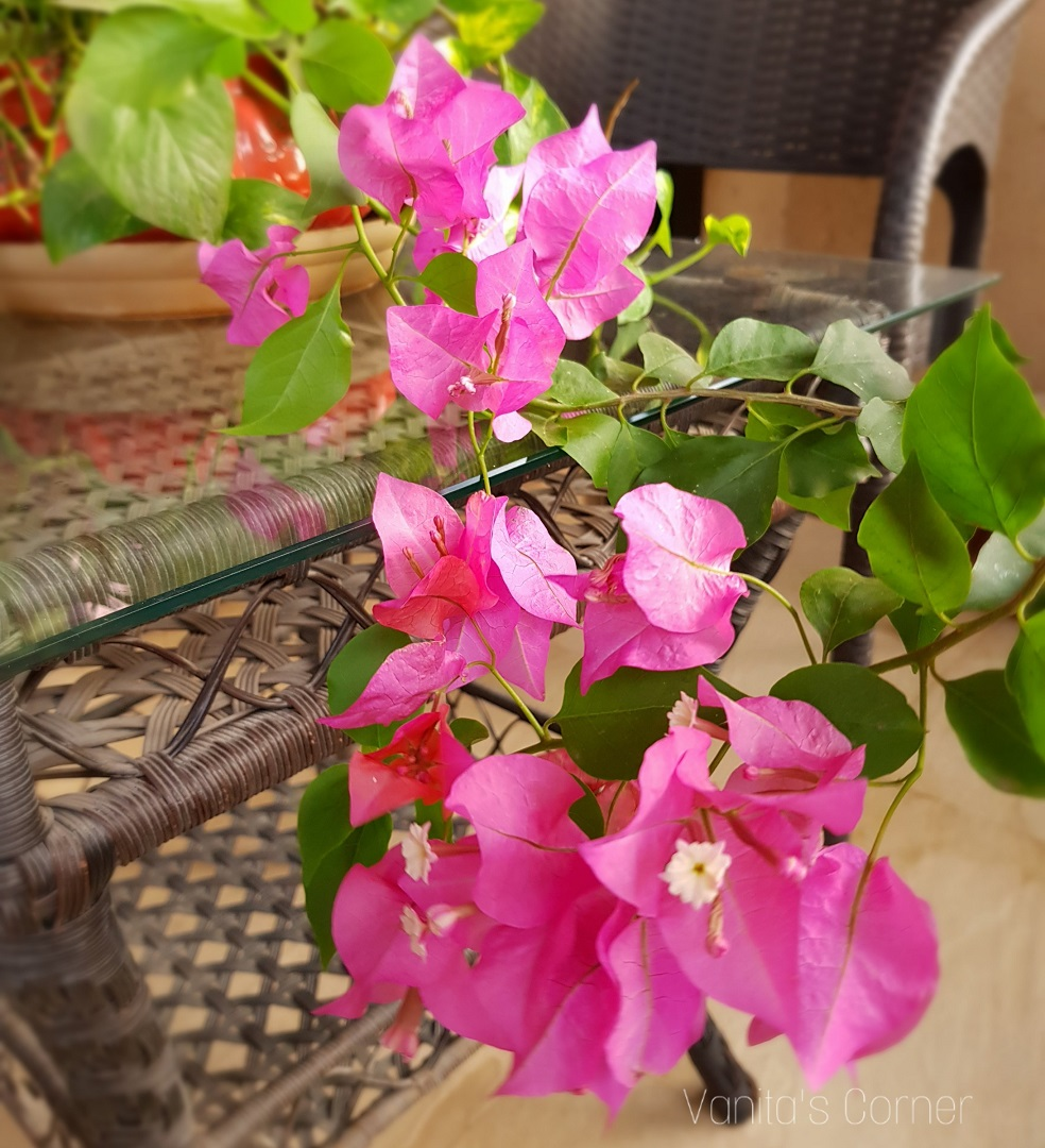 growing bougainvillea from stem cuttings