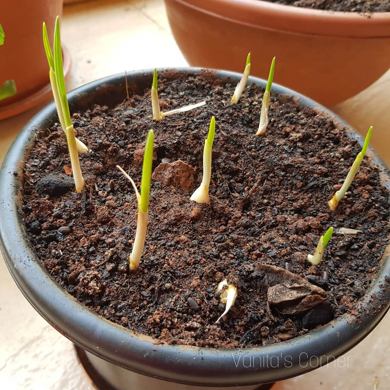Growing green garlic at home